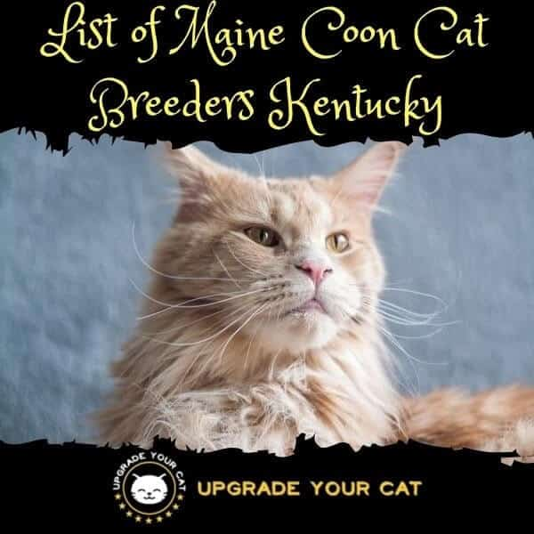 Maine Coon Cat Breeders Kentucky