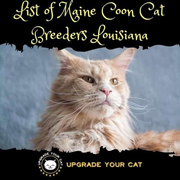Maine Coon Cat Breeders Louisiana
