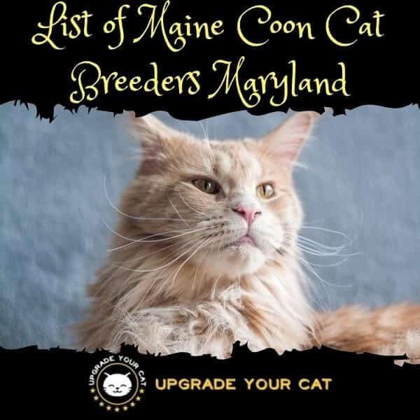 Maine Coon Cat Breeders Maryland