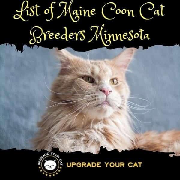 Maine Coon Cat Breeders Minnesota