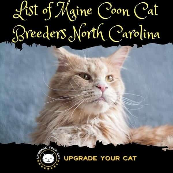 Maine Coon Cat Breeders North Carolina