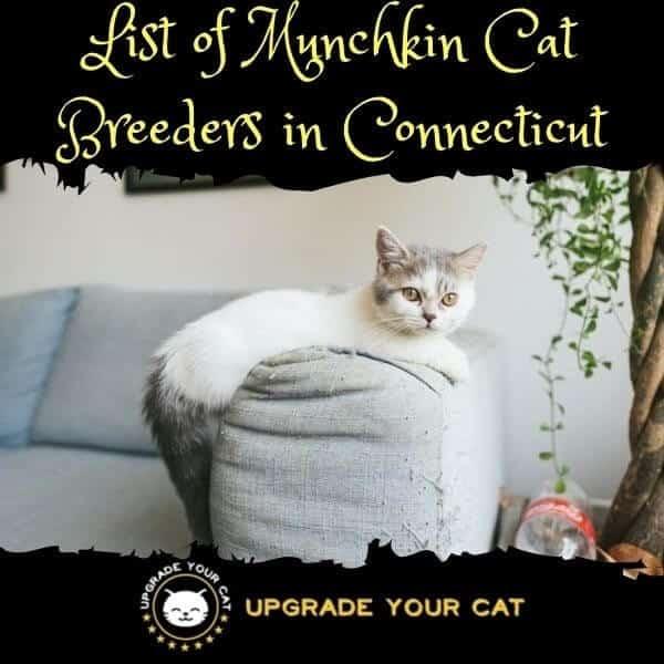 Munchkin Cat Breeders Connecticut