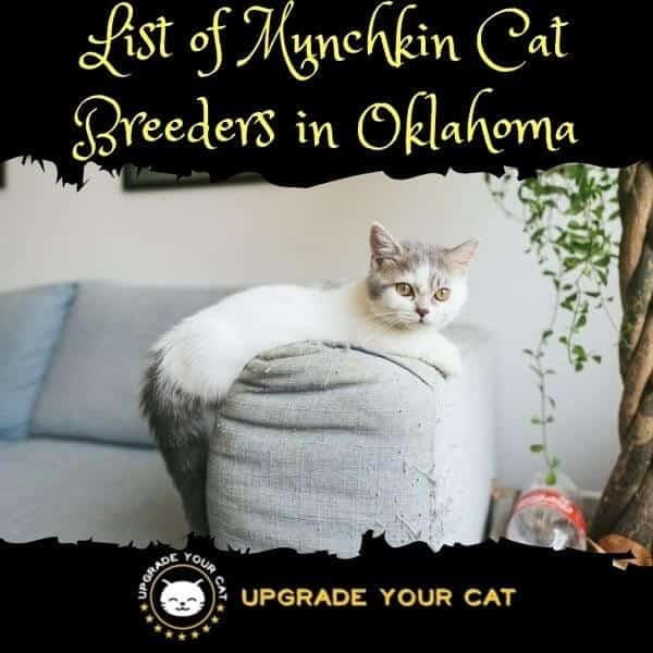 Munchkin Cat Breeders Oklahoma