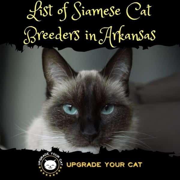 Siamese Cat Breeders Arkansas