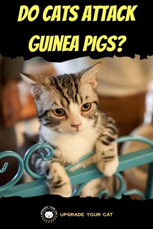 Do Cats Attack Guinea Pigs