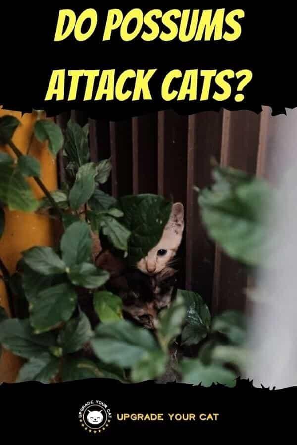 Do Possums Attack Cats