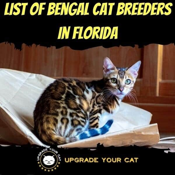 Bengal Cat Breeders in Florida