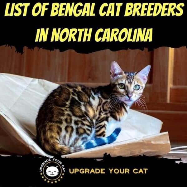 Bengal Cat Breeders in North Carolina