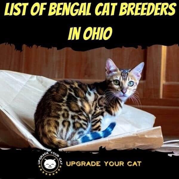 Bengal Cat Breeders in Ohio