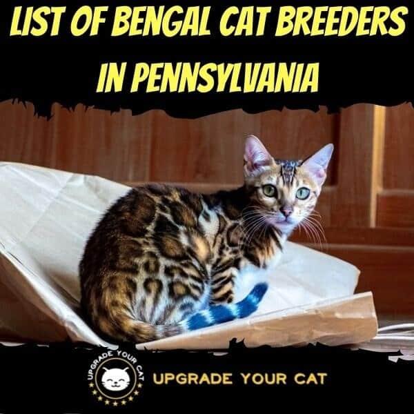 Bengal Cat Breeders in Pennsylvania