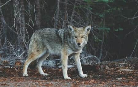 Do Coyotes Kill Cats Quickly